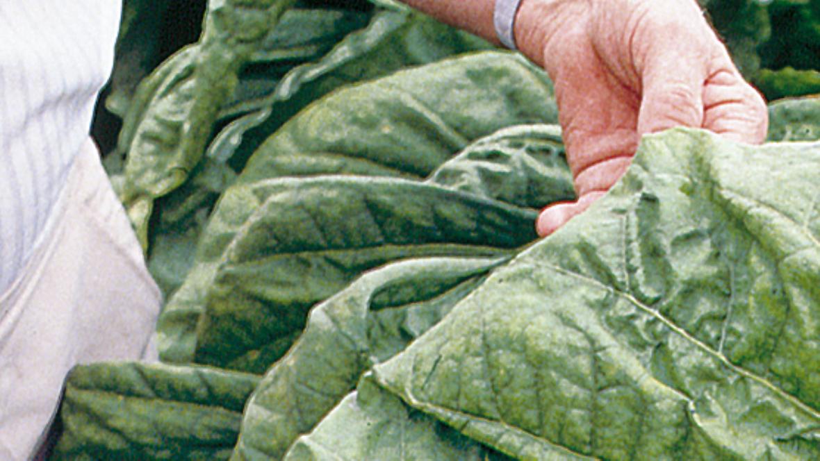 Green Leaf Processing