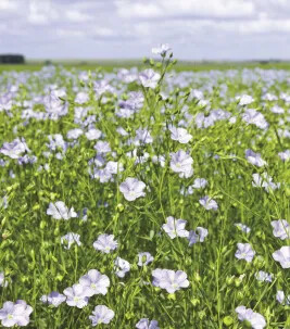 The Flax plant used in the manufacture of Linoleum