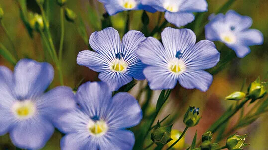 Flax blomster