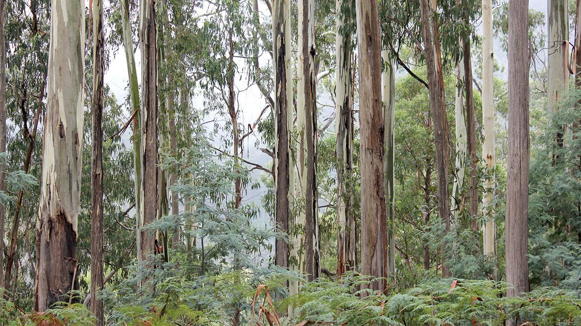 Planting Australian native trees through Marmoleum floors
